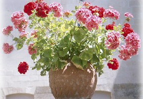 Medicinal Uses of Geraniums