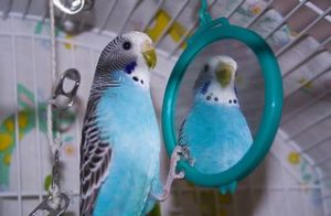 blue budgie looking in a mirror
