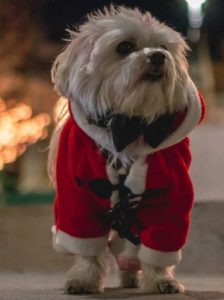 small dog wearing red Christmas outfit
